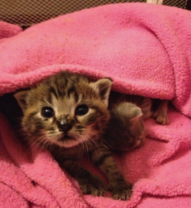 Kitten Looking Out From Under Blanket