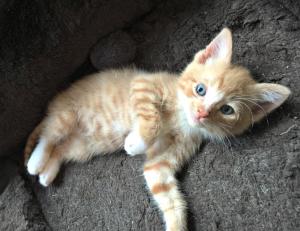 Orange Tabby & White Kitten
