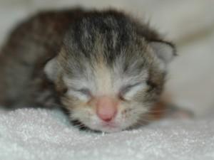 Neonatal kitten on blanket