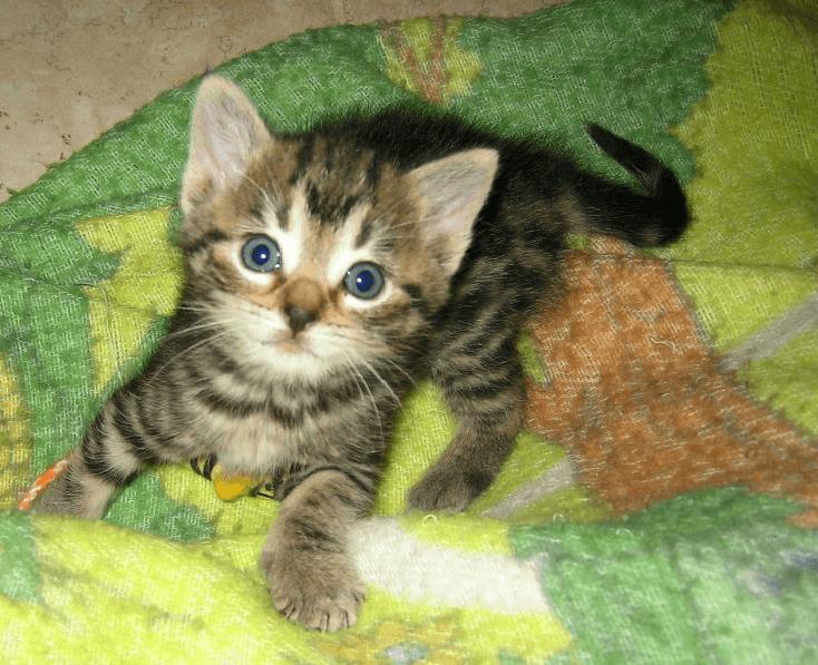 Tabby kitten photo